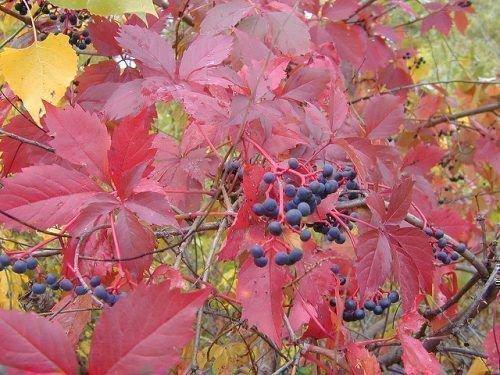 Декоративный виноград и ягоды