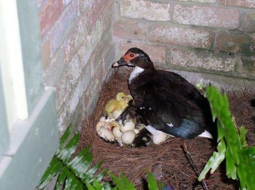 Индоутка сидит на яйцах