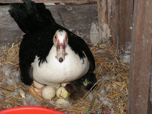 Индоутка высиживает яйца