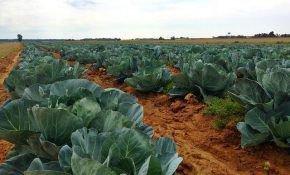 Как правильно подкармливать капусту в открытом грунте