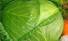 Популярные сорта белокочанной капусты