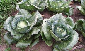 Белокочанная капуста: особенности выращивания в открытом грунте