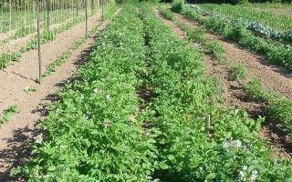 Основные виды сидератов под картофель