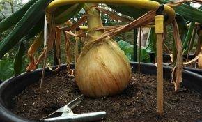 Выращивание лука сорт эксибишен с рассады