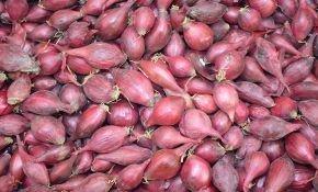 Сорта красного лука севок