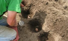Посадка картофеля: какое удобрение добавлять в лунку?