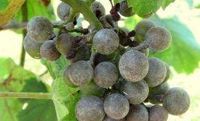 Милдью (ложная мучнистая роса) винограда: признаки и способы лечения