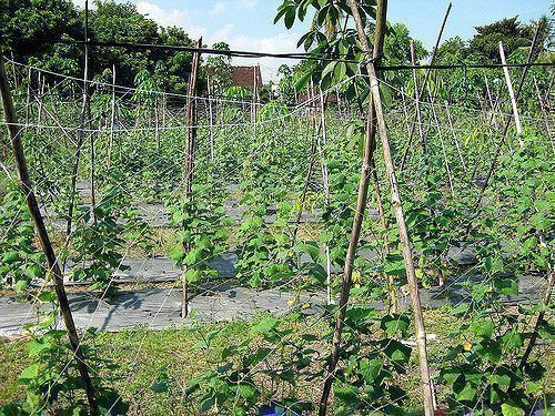 Огурцы растут на шпалерах