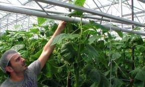 Что необходимо знать о выращивании огурцов зимой в теплице?