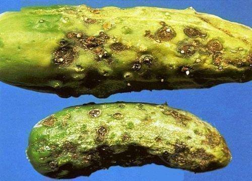 Оливковая пятнистость огурцов