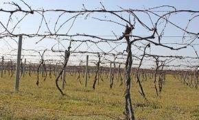 Как проводить весеннее опрыскивание винограда
