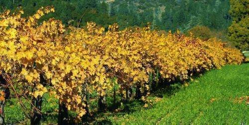 Осенний виноградник