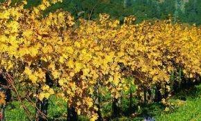 Обрезка старого винограда в осенний период времени