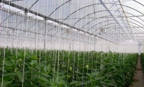 Как посадить и вырастить перец в теплице