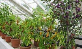 Выращивание и посадка комнатного перца