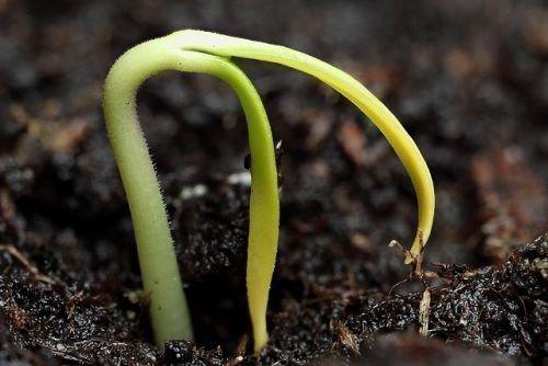 Перец из семян