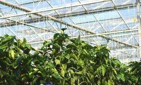 Выращивание и уход за перцем в теплице
