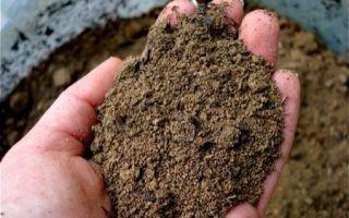 Какой картофель высаживают в песчаный грунт