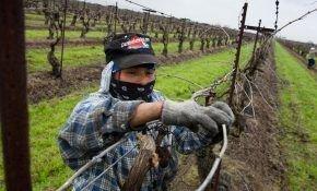 Подвязывание винограда, как правильно это сделать?