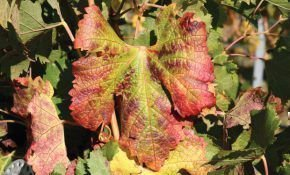 Уход за виноградом, или почему у винограда краснеют листья
