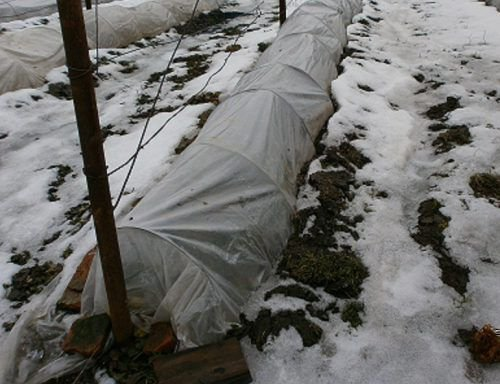 Полуукрытие винограда на зиму