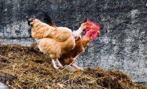 Куриный помет как органическое удобрение для огурцов