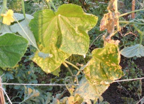 Пожелтевшие листья огурцов