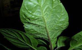 Болезни рассады перцев: листья в пупырышках