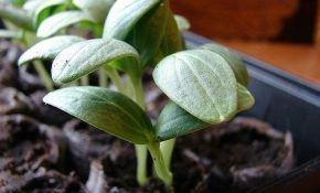 Как вырастить рассаду огурцов своими руками  в домашних условиях
