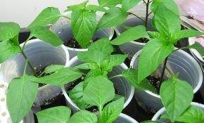 Рассада перца – особенности ухода, посадки и выращивания