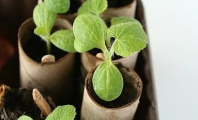 Выращивание тыквы на рассаду: как сажать семена дома