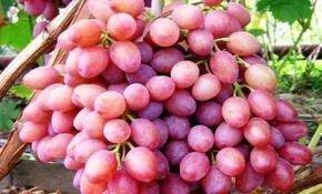 Описание сорта винограда кишмиш розового цвета
