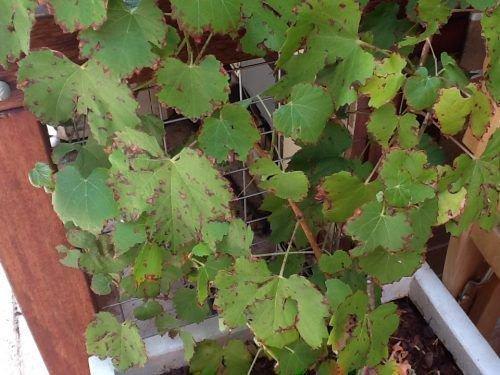 Ржавчина на винограде