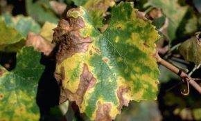 О чем свидетельствуют коричневые пятна, появившиеся на листьях винограда