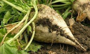 Технология выращивания и возделывания сахарной свеклы