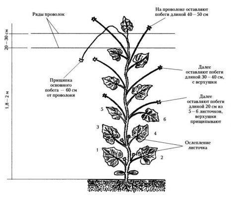 Схема формирования огурца