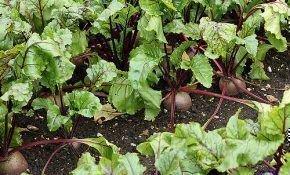 Правила севооборота: что сажать после снятия урожая свеклы