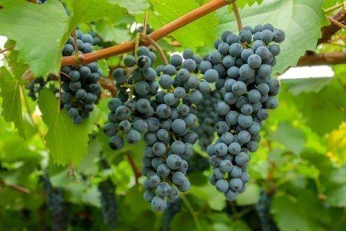 Таежный виноград