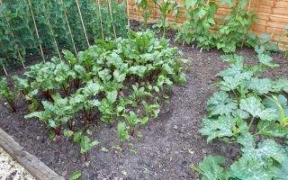 Выращивание и уход за сортами свеклы