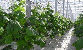 Высаживаем огурцы в теплице – как и когда сажать правильно