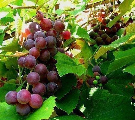 Виноград Изабелла растет