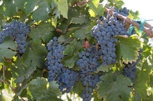 Виноград Каберне Фран