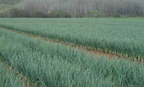 Выращивание лука репки без лишних хлопот