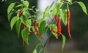 Как правильно вырастить острый перец у себя дома