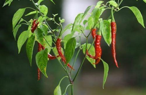Выращивание перца чили