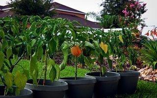 Перец — особенности ухода, посадки и выращивания
