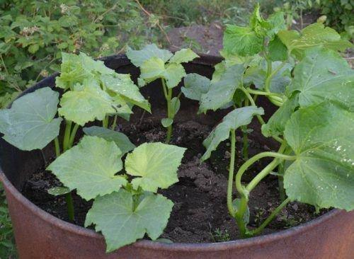 Выращивание тыквы в бочке