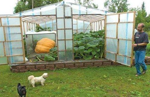 Выращивание тыквы в парнике