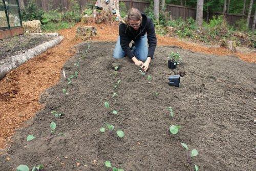 Высадка капусты в открытый грунт