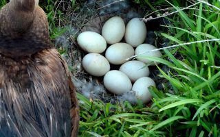 Что необходимо знать о яйцах индоуток